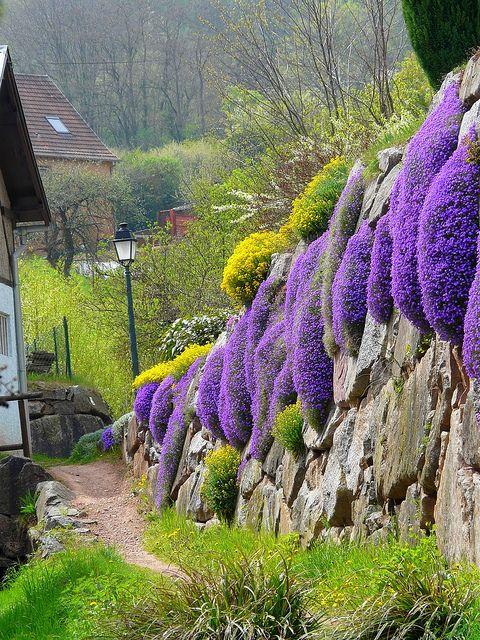 Mur fleuri | Alsace, France (Rock cress, basket-o-gold) #perennial Aubrietia and Alyssum