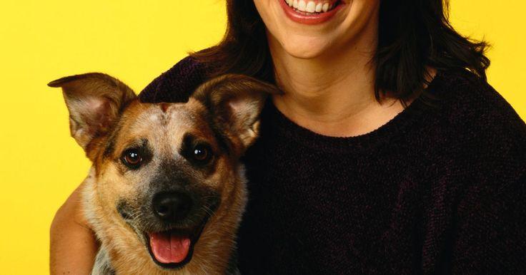 """Como escolher um filhote de cachorro da raça Red Heeler. O nome """"red heeler"""" se refere a uma raça de cão chamada de boiadeiro australiano, que pode ser de cor vermelha, muitas vezes ostentando marcas salpicadas. De acordo com o American Kennel Club, esta raça é extremamente diligente, enérgica e inteligente, e vive como um cão de trabalho. Se você está planejando trazer um cão boiadeiro australiano para ..."""