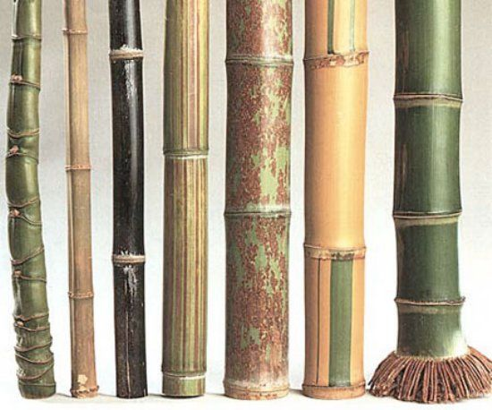different species of bamboo  Phyllostachys aurea, Tetragonoclamus angulatus, Phyllostachys nigra f. punctuata, Phyllostaches bamb. violascens, Phyllostachys nigra f. 'Boryana',Phyllostachys viridis 'Sulphurea', Phyllostachys bambusoides. (Illustration Photo by Wetterwald M.F.)