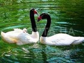 Estos pájaros blancos agraciados, siempre atraen a las personas con su belleza austera. Cisnes de los primeros siglos de la historia humana en Europa eran un símbolo de la primavera y el calor. Su forma era el epítome de la belleza femenina, la ternura, el romance, la poesía y la lealtad. En la antigüedad, el cisne era considerado un pájaro de Afro...