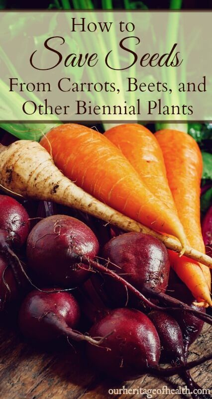 How To Save Seeds From Carrots Beets And Other Biennial Plants Gardening Tips Pinterest Gardens