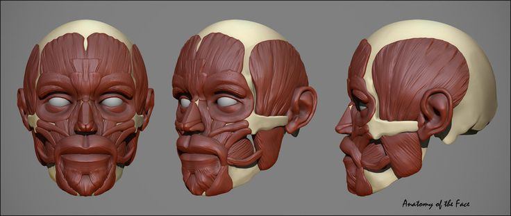 Face Anatomy For Artists, Human Face Anatomy For Artists