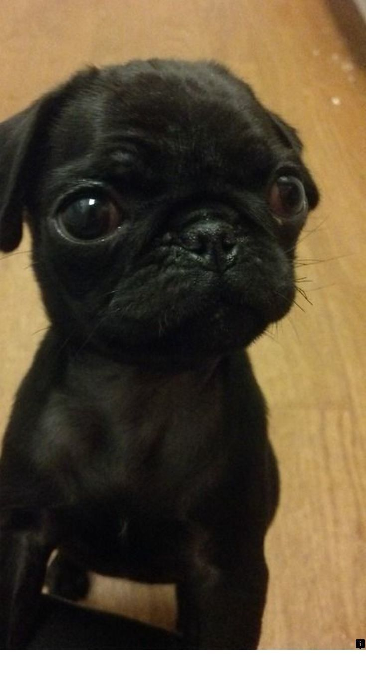 Read About Pugs For Sale Near Me Check The Webpage To Find Out