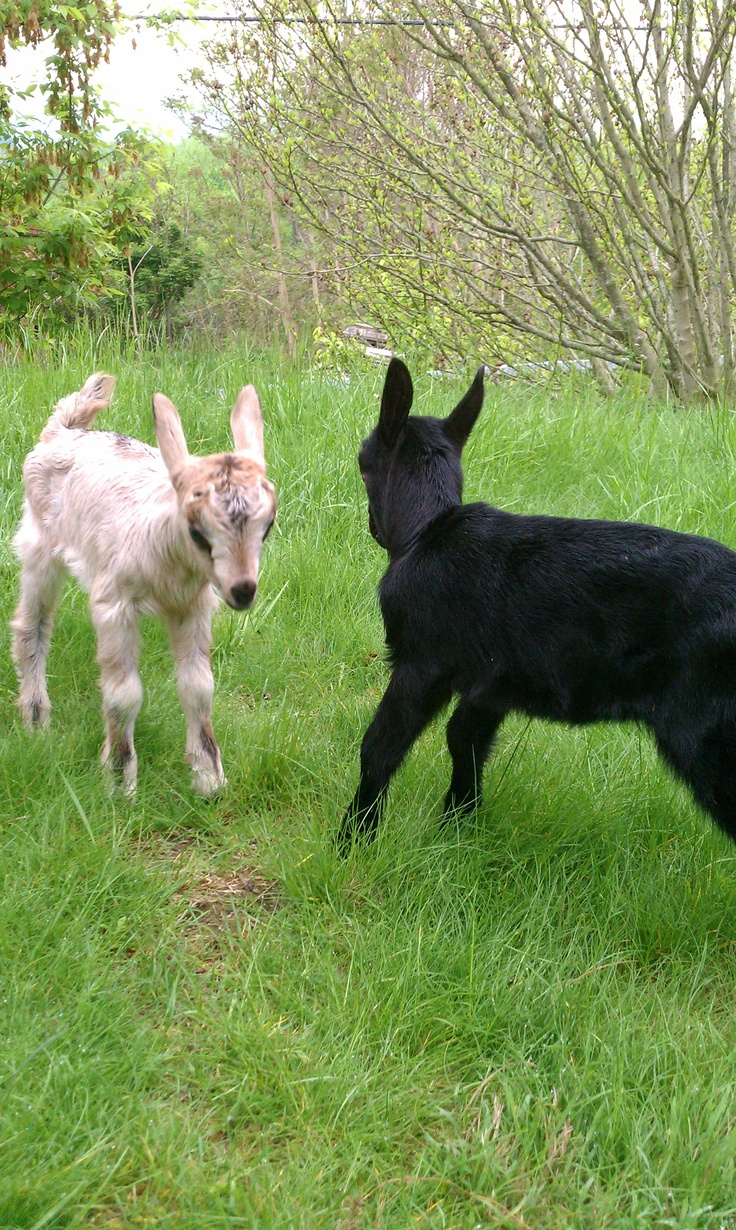 Raising Alpine Goats - Bodi and Ani playing on the grass: