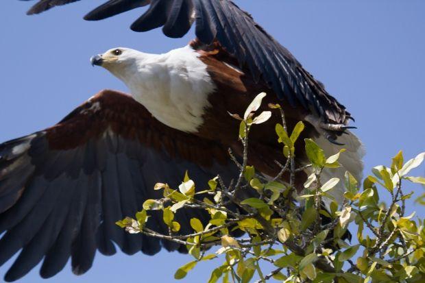 A majestic #AfricanFishEagle taking flight in Gauteng.  #VisitGauteng #Birdlife #Nature #Wildlife http://www.gauteng.net/blog/entry/hiking_in_gauteng_phaladingwe_day_trails/