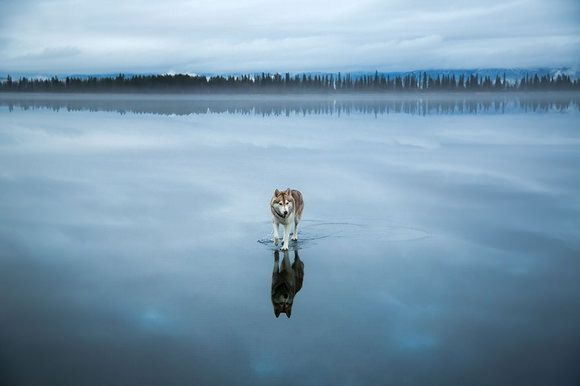 Can these Siberian Huskies walk on water? Well, the answer is no, but photographer Fox Grom has taken some amazing photos after rain water has build up on a frozen lake. More info and images on Camyx! #water #frozen #lake #photography