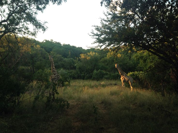 #giraffe #africa #southafrica #trailrunning