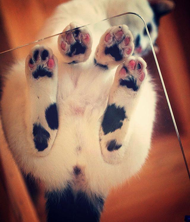 ガラス板に、私はなりたい。(いーはとーぶ風に語ります) #catstagram#pet#cats#neko#ilovecat#にゃんこ#ネコラ部#モフモフ#保護猫#愛猫#みんねこ#lovely#cute#funny#meow#instacat#変顔#顔芸#kawaii#sippo#猫写真#ネコダスケステーション
