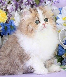 Chinchilla Golden & White Teacup Persian Kitten