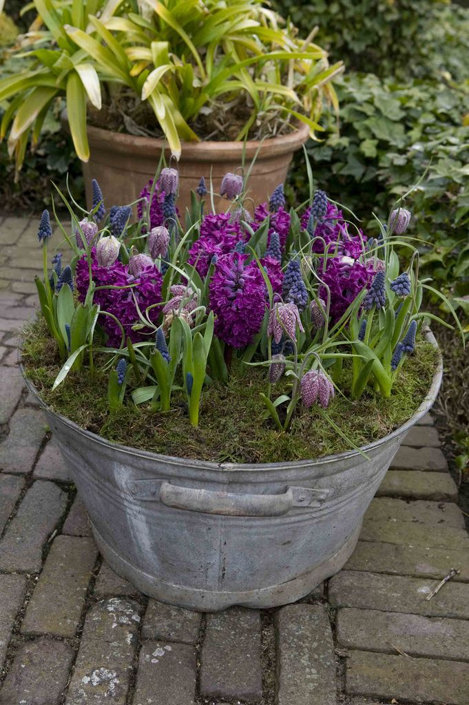 Spring bulbs in rustic container