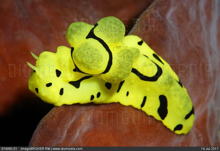 Yellow Notodoris Nudibranch (Notodoris minor) on sponge, Gangga Island, Bangka Islands, North Sulawesi, Indonesia, Molukka Sea, Pacific, Asia
