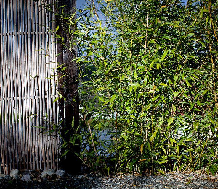 Japansk hage; Bambus-hekk