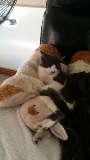 Hanky loves my sheep pillow I got from New Zealand. #cute #sheep #NZ #kittycat #lovemykitten #fatcat #sleepytime