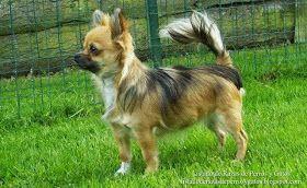 Imagen de un perro Chihuahueño de pelo largo en el jardín. Razas de perro (Picture of a dog Chihuahua long hair in the garden. Breeds of dog).