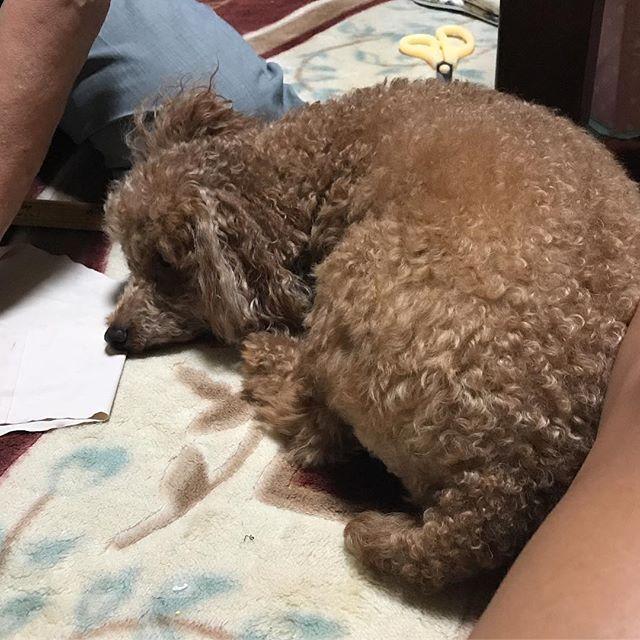 追いやられて 休憩してる私の横に来た(笑) * * にしても、私の足 黒い🙌🏾👩🏽👣 * 明日、最後に 日サロ行こっかなぁ〜🌺 * #トイプードル#プードル#レッドプードル #レッドプー#ワンコ#犬#dog#doggy#愛犬 #親バカ#犬バカ#カメラ嫌い部#love#ラブリー #相思相愛#溺愛#ラブラブ#いぬ#kaumo #ペット#メロメロ#つぶらな目#ふわもこ #ボサボサ#おっさん顔#癒し #わんこなしでは生きていけません