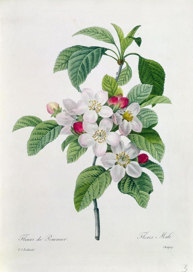 Apple blossom botanical, Pierre Joseph Redoute