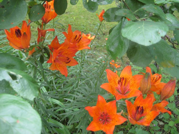 Orange lilies at full bloom in the shade of an apple tree