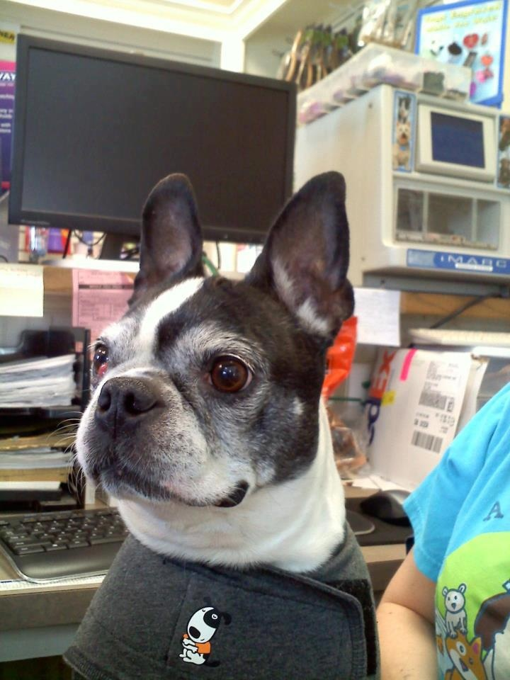 boston terrier puppies rescue i am missy a senior girl 10 years old and haven t seen 5526