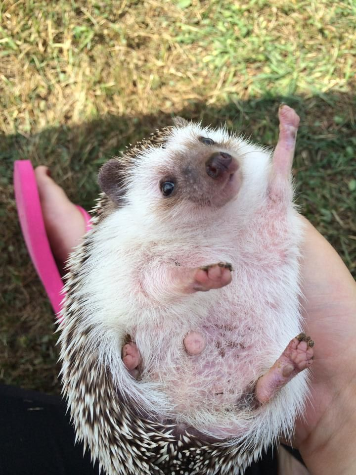"""I showed my friend (who owns a hedgehog) the """"Enthusiastic Hedgehog"""" meme. Two days later she sent me this pic."""