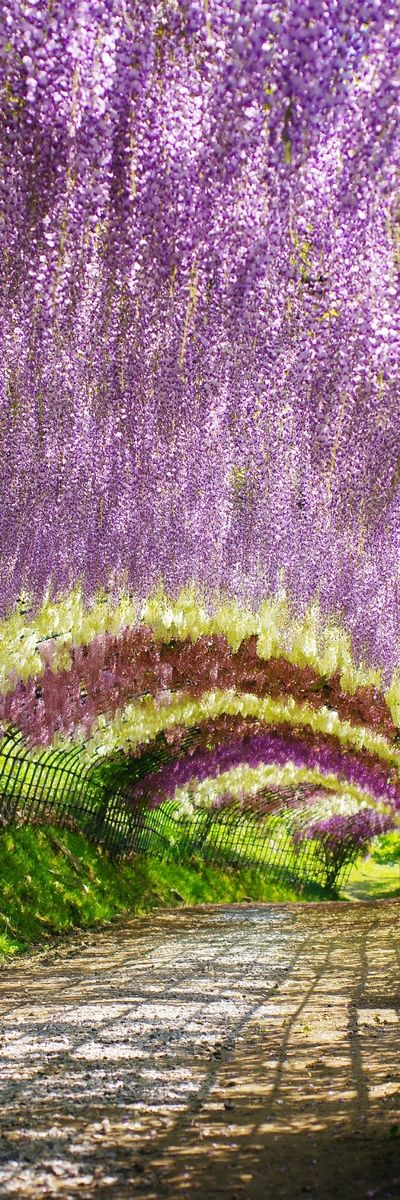 102767 best images about the re pin exchange on pinterest Wisteria flower tunnel path in japan