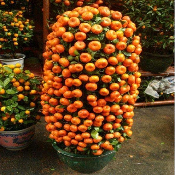 Goedkope 10 zaden balkon patio potplanten fruit bomen zaden geplant kumquat orange tangerine citrus gratis schip, koop Kwaliteit bonsai rechtstreeks van Leveranciers van China: 10 zaden balkon patio potplanten fruit bomen zaden geplant kumquat orange tangerine citrus gratis schip