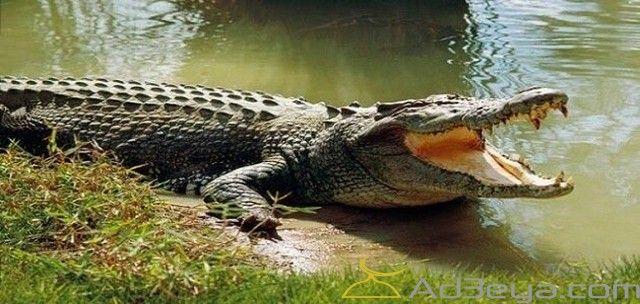 تفسير رؤية التمساح في المنام أو الحلم التمساح التمساح الأخضر في المنام التمساح في البحر Saltwater Crocodile Wildlife Of India Estuarine Crocodile