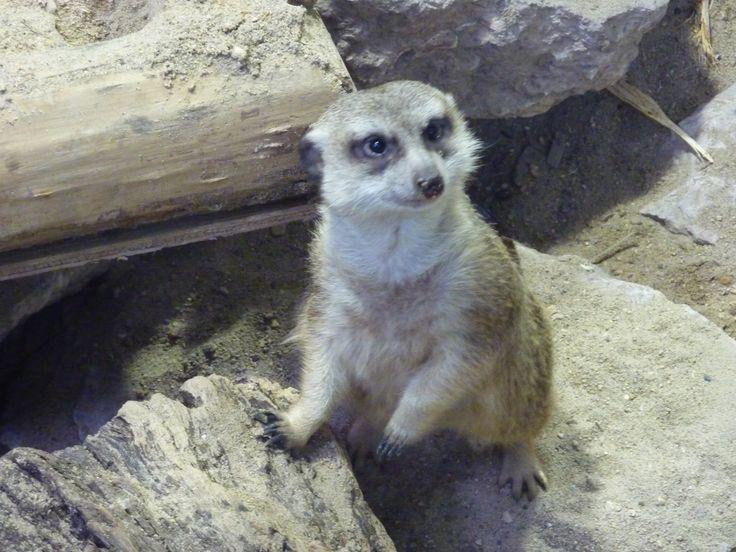 Winnipeg Zoo - Meerkat