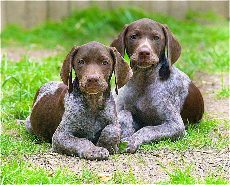 Adorable GSP pups.