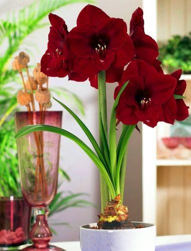 KEYZERS® Pflanzen- und Blumenwelt GmbH | Amaryllis Benfica großblumig 1 Stück