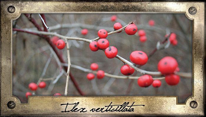 Les plants femelles du houx verticillé se parent d'une multitude de fruits rouges une fois l'automne venu. Cet arbuste indigène rustique est facile de culture pourvu qu'on le destine à un sol frais ou humide.  100 graines / sachet  Aucun prétraitement requis. Semer à l'endroit désiré dès que la température est propice. Ou, semer à l'extérieur à l'automne à l'endroit désiré. La germination se produira le printemps suivant ou ultérieurement.