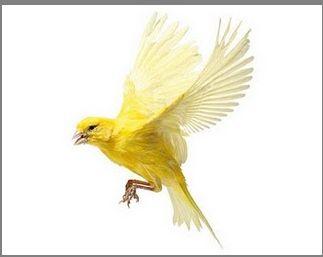 Canary flying | Tattoo...