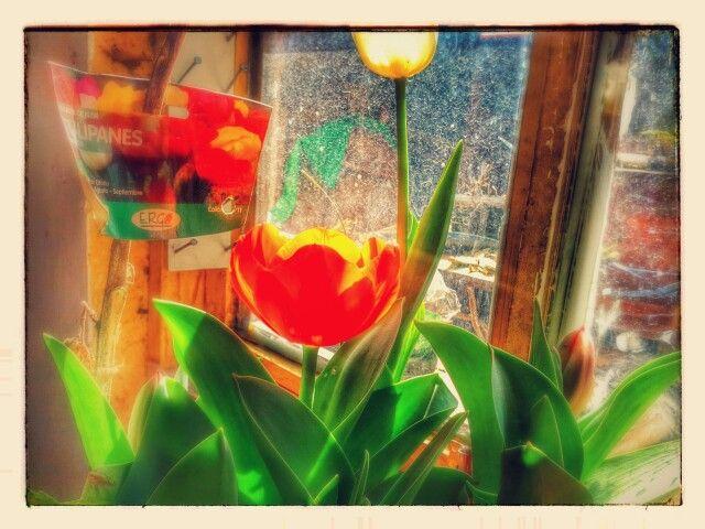 Mis bellos tulipanes