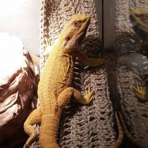 Wide Swing Style Reptile Hammock Bearded Dragon Hammock Pet