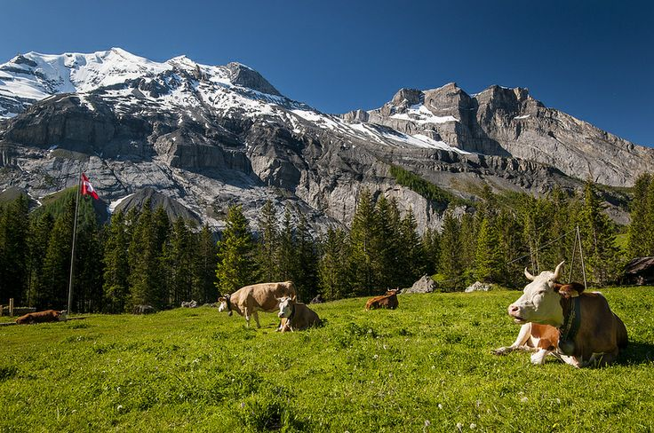 On The Way To The Oeschinensee Switzerland Mountains Cow Pictures Mountain Landscape