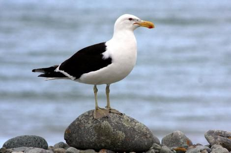 Southern black-backed gull. Adult. Boulder Bank Nelson, January 2008. Image © Rebecca Bowater FPSNZ by Rebecca Bowater  FPSNZ Courtesy of Rebecca Bowaterwww.floraandfauna.co.nz