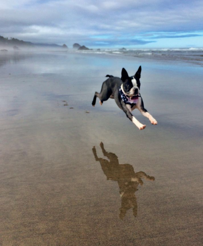 BOSTON BOUND! MIA is a three-year-old Boston Terrier whose passion is long walks—and runs—on the beach. She lives with Emily on the West Coast in Redmond, WA, but hopes someday to travel to the East Coast and explore the city her breed was named for.
