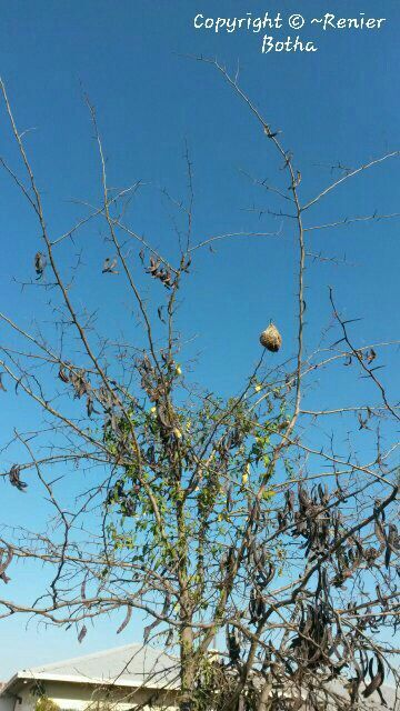 Weaver bird nest ....on farm outside Koppies