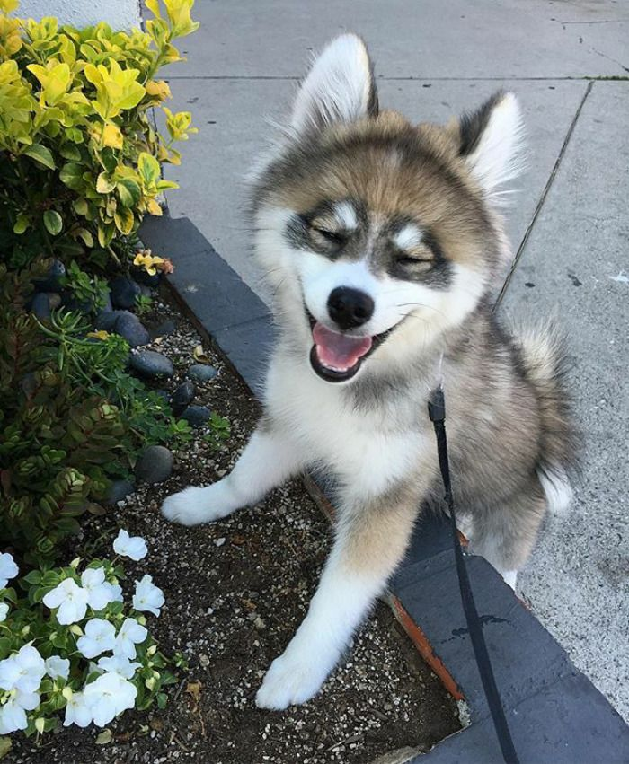 Meet Norman, A Husky-Pomeranian Puppy That's So Cute It Doesn't Even Look Real | Bored Panda