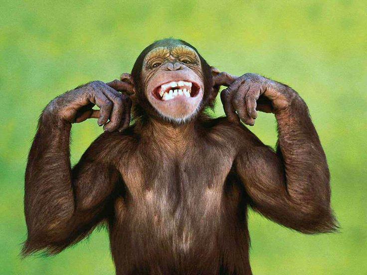 Monkey Wallpaper best 25+ monkey wallpaper ideas on pinterest | arctic monkeys