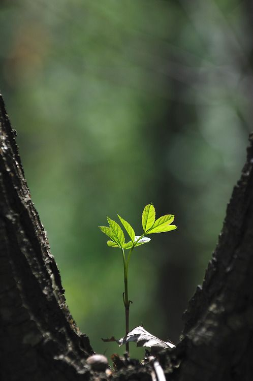 A tree grows in the Forest