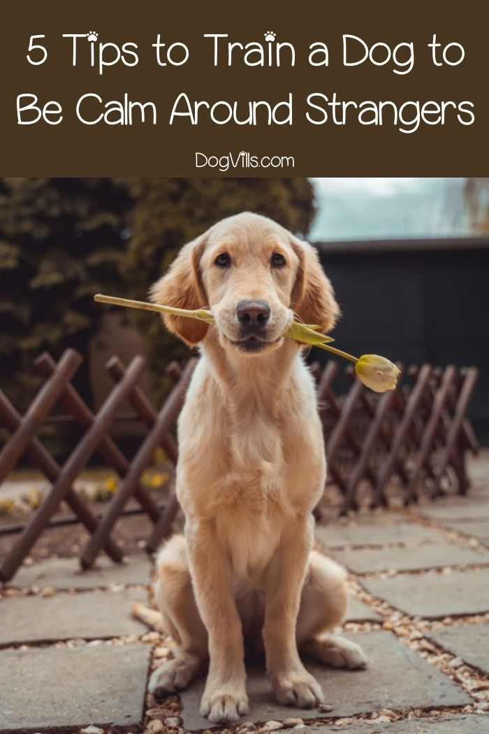 5 Tips To Train A Dog To Be Calm Around Strangers Cute Dogs