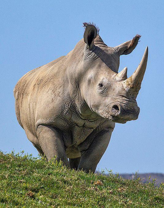 A White Rhino.                                                                                                                                                                                 More