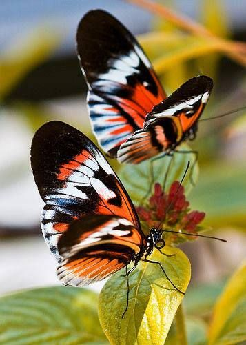 Black,orange  Butterflies