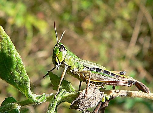 Grasshopper Facts For Kids | Grasshopper Diet & Habitat