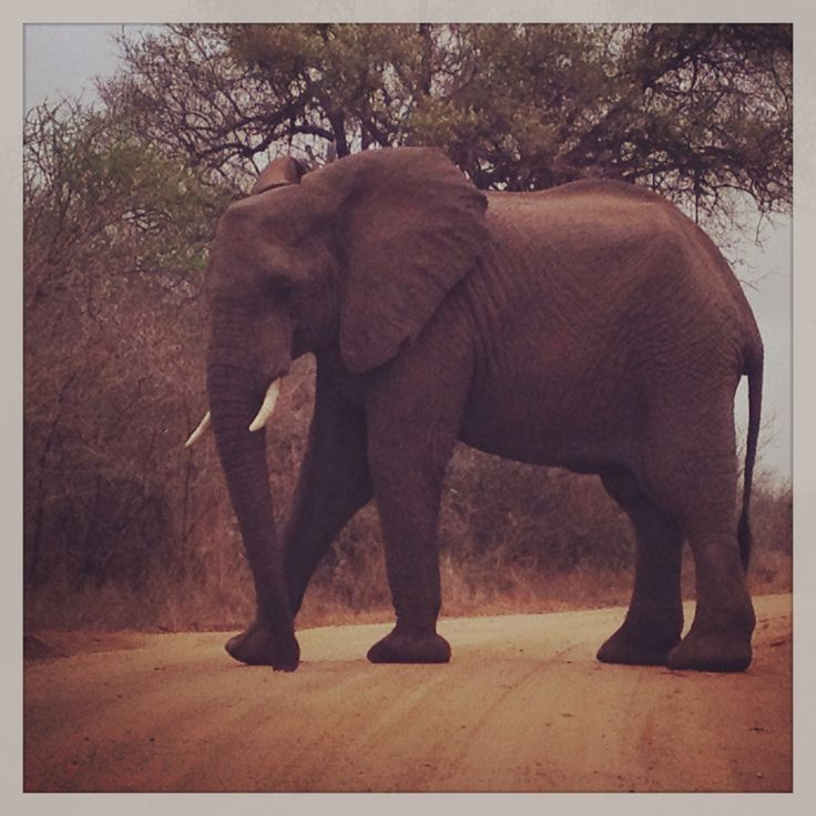 Elephant in the Kruger National Park South Africa! Follow