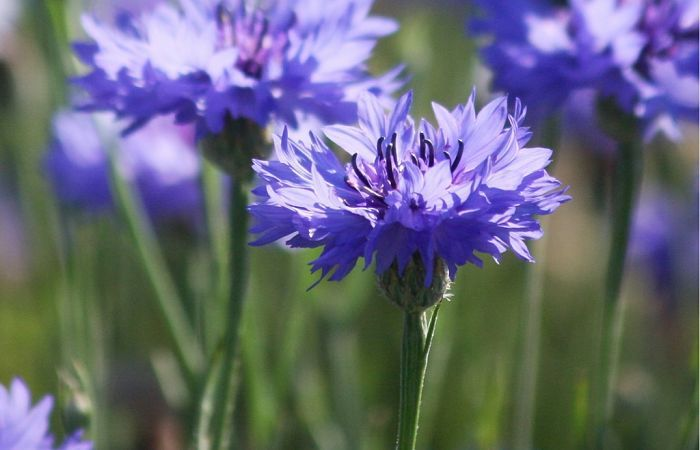 Learn About The Traditional Uses Health Benefits Dosages Active Ingredients And Side Effects Of The Medicinal He Cornflower Medicinal Herbs Medicinal Plants