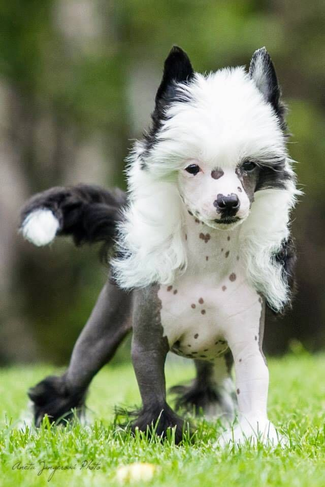 chinese crested hair styles - Google Search
