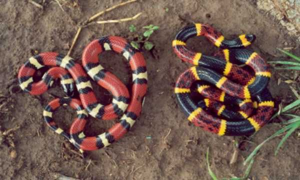 Red and black, friend of jack. Red and yellow, kill a fellow (#snakes)