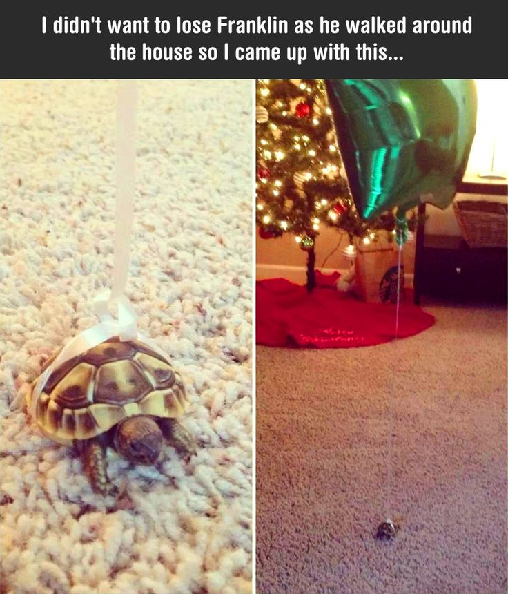 That's one clever way to keep track of where your tortoise Is - tie a balloon to him!