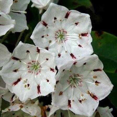 fleurs de laurier